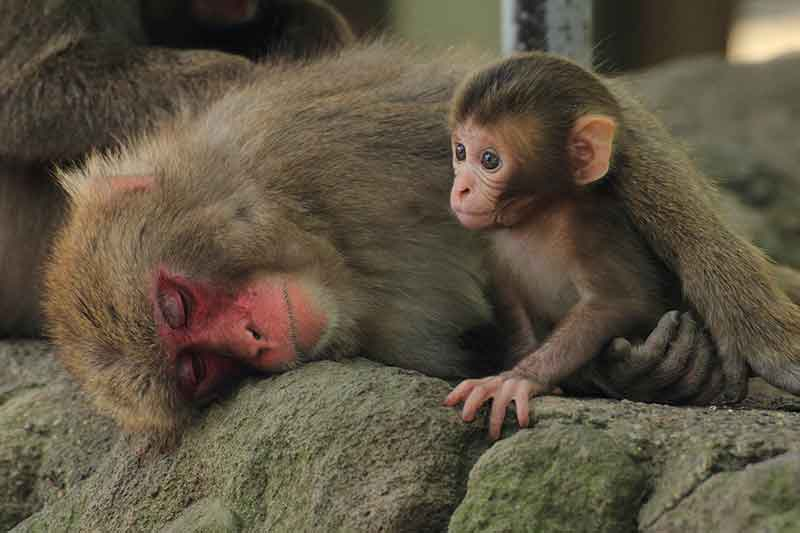 image of adult monkey comforting baby monkey - expressvpn is safe!
